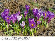 Фиолетовые и сиреневые крокусы (лат. Crocus) цветут в саду. Стоковое фото, фотограф Елена Коромыслова / Фотобанк Лори