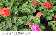 Closeup of colorful blooming geranium flowers grown in pots in greenhouse on background of foliage greenery. Стоковое видео, видеограф Яков Филимонов / Фотобанк Лори