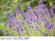 Blooming Lavender (Lavandula angustifolia) Стоковое фото, фотограф Юлия Бабкина / Фотобанк Лори