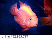 Купить «Рыба попугай аквариумная цихлида», фото № 32953797, снято 11 января 2020 г. (c) Татьяна Белова / Фотобанк Лори