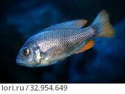 Купить «Копадихромис каданго самка (Kadango Red Fin, Haplochromis borleyi redfin, Haplochromis goldfin)», фото № 32954649, снято 1 января 2020 г. (c) Татьяна Белова / Фотобанк Лори