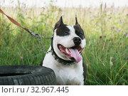 Портрет собаки породы американский питбультерьер на фоне летней зеленой травы. Стоковое фото, фотограф Кузин Алексей / Фотобанк Лори