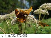Купить «Перламутровка лесная (Argynnis paphia). Три бабочки не цветке. Насекомые собирают нектар. Лето.», фото № 32972085, снято 29 июля 2018 г. (c) М Б / Фотобанк Лори