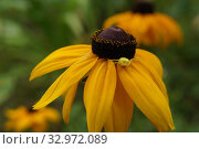 Купить «Цветочный паук (Misumena vatia) сидит  на большом ярком цветке Рудбекии (Rudbeckia hirta)», фото № 32972089, снято 12 июля 2019 г. (c) М Б / Фотобанк Лори