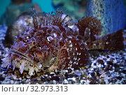 Бородавчатка или рыба-камень (Synanceia verrucosa) на дне морского аквариума. Стоковое фото, фотограф Татьяна Белова / Фотобанк Лори