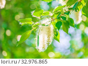 Купить «Poplar fluff on a tree branch against the blue sky.», фото № 32976865, снято 1 июня 2019 г. (c) Акиньшин Владимир / Фотобанк Лори