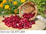 Свежие ягоды клюквы в корзинке на пне крупным планом. Стоковое фото, фотограф Елена Коромыслова / Фотобанк Лори