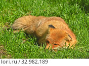 Red fox (Vulpes vulpes) sleeping in sunny day. Стоковое фото, фотограф Валерия Попова / Фотобанк Лори