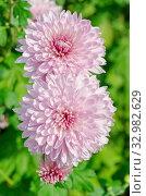 Купить «Розовые хризантемы цветут в саду», фото № 32982629, снято 11 сентября 2019 г. (c) Елена Коромыслова / Фотобанк Лори