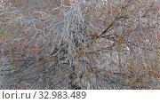 Купить «Замерзшие ветви березы в утренний заморозок октябрьским утром», видеоролик № 32983489, снято 22 октября 2017 г. (c) Виктор Карасев / Фотобанк Лори