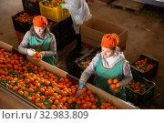 Купить «High angle view of group of people working on citrus sorting line at warehouse», фото № 32983809, снято 21 февраля 2020 г. (c) Яков Филимонов / Фотобанк Лори