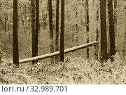 Купить «Тема Шишкина в сосновом бору зимой», эксклюзивное фото № 32989701, снято 8 января 2020 г. (c) Анатолий Матвейчук / Фотобанк Лори