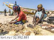 Die Frauen der Fischer putzen die frisch gefangenen Meeresschnecken am Strand von Sanyang, Gambia, Westafrika | the fishermans woman cleaning the fresh... Редакционное фото, фотограф Peter Schickert / age Fotostock / Фотобанк Лори