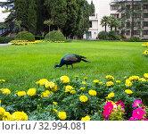 A Peacock grazes on the front lawn. Стоковое фото, фотограф Володина Ольга / Фотобанк Лори