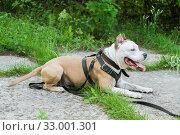 Собака породы американский питбультерьер лежит с высунутым языком. Стоковое фото, фотограф Кузин Алексей / Фотобанк Лори