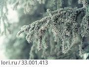 Купить «Еловая ветка в снегу в морозный день», фото № 33001413, снято 11 января 2020 г. (c) Наталья Осипова / Фотобанк Лори