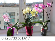 Three different blossoming orchids in flowerpots. Стоковое фото, фотограф Александр Птах / Фотобанк Лори