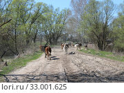 Cows coming back from pasture. Стоковое фото, фотограф Александр Птах / Фотобанк Лори