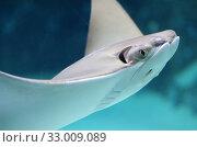 Купить «Морской скат хвостокол», фото № 33009089, снято 29 января 2020 г. (c) Natalya Sidorova / Фотобанк Лори