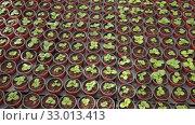 Купить «Young houseplants growing in flowerpots at glasshouse farm», видеоролик № 33013413, снято 29 октября 2019 г. (c) Яков Филимонов / Фотобанк Лори