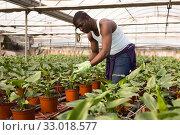 Купить «African male farmer caring for Spathiphyllum», фото № 33018577, снято 29 октября 2019 г. (c) Яков Филимонов / Фотобанк Лори