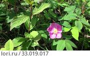 Купить «Цветущий шиповник. Насекомые на цветке шиповника», видеоролик № 33019017, снято 25 июня 2019 г. (c) Олег Хархан / Фотобанк Лори