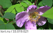 Купить «Цветущий шиповник. Насекомые на цветке шиповника», видеоролик № 33019021, снято 25 июня 2019 г. (c) Олег Хархан / Фотобанк Лори