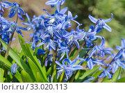 Сцилла двулистная Таурика или пролеска (лат. Scilla difolia L.) цветет весной. Стоковое фото, фотограф Елена Коромыслова / Фотобанк Лори