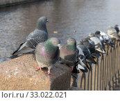 Купить «Flock of pigeons on the fence», фото № 33022021, снято 13 ноября 2012 г. (c) Argument / Фотобанк Лори