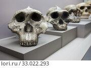 Купить «Barcelona, Spain - Dec 27th 2019: Human evolution from australopithecus to neanderthalensis. Catalan Museum of Archaeology, Barcelona, Spain.», фото № 33022293, снято 27 декабря 2019 г. (c) age Fotostock / Фотобанк Лори
