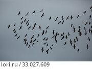 Купить «Flight of migrating cranes in cloud sky», фото № 33027609, снято 29 февраля 2020 г. (c) Яков Филимонов / Фотобанк Лори