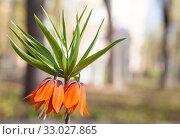 Купить «Рябчик императорский (Fritillaria imperialis)», фото № 33027865, снято 30 апреля 2019 г. (c) Наталия Шевченко / Фотобанк Лори