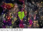 Купить «Last green leaf of Parthenocissus quinquefolia in winter», иллюстрация № 33028661 (c) Парушин Евгений / Фотобанк Лори