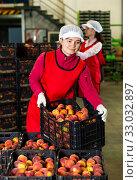 Woman stacking boxes with nectarines. Стоковое фото, фотограф Яков Филимонов / Фотобанк Лори
