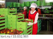 Купить «Female in process of sorting and packaging apricots», фото № 33032901, снято 8 июня 2019 г. (c) Яков Филимонов / Фотобанк Лори