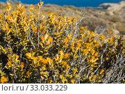 Купить «Vegetation of Valdes peninsula, Argentina», фото № 33033229, снято 29 января 2017 г. (c) Яков Филимонов / Фотобанк Лори