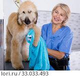 Купить «mature woman hairdresser wipes puppy of Afghan hound in hairdresser for dogs», фото № 33033493, снято 17 октября 2017 г. (c) Татьяна Яцевич / Фотобанк Лори