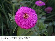 Купить «Цинния (Zínnia) фиолетового цвета. Красивый цветущий цветок в саду.», фото № 33039197, снято 25 августа 2018 г. (c) М Б / Фотобанк Лори
