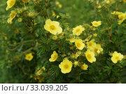 Купить «Лапчатка или дазифора кустарниковая (Dasiphora fruticosa)  в цвету.  Красивый, декоративный лиственный кустарник с многочисленными бледно-желтыми цветами.», фото № 33039205, снято 3 августа 2019 г. (c) М Б / Фотобанк Лори