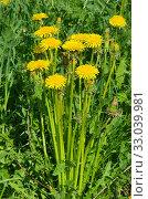 Желтые одуванчики (лат. Taraxacum) цветут на лугу. Стоковое фото, фотограф Елена Коромыслова / Фотобанк Лори