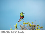 Купить «Southern double-collared sunbird (Cinnyris chalybeus), male perched in fynbos habitat, Western Cape Province, South Africa. Endemic species to this region.», фото № 33044929, снято 20 февраля 2020 г. (c) Nature Picture Library / Фотобанк Лори