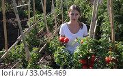 Купить «Woman farmer harvest of ripe tomatoes in a box», видеоролик № 33045469, снято 12 сентября 2019 г. (c) Яков Филимонов / Фотобанк Лори