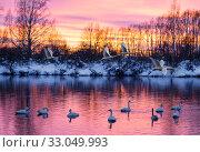 Купить «Wild swans wintering on lake Svetloye in the Altai territory at sunset. Russia», фото № 33049993, снято 24 января 2020 г. (c) Наталья Волкова / Фотобанк Лори