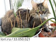Антивандальная защита комнатного растения от кошек: плохо помогает Anti-vandal protection of a houseplant from cats: helps poor. Стоковое фото, фотограф Светлана Федорова / Фотобанк Лори