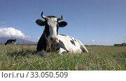 Купить «Dairy cow lies in farm field, resting, digesting food and basking in sun on background of blue sky on sunny weather», видеоролик № 33050509, снято 19 сентября 2019 г. (c) А. А. Пирагис / Фотобанк Лори