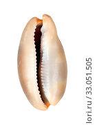 sea mollusc shell. Стоковое фото, фотограф Tamara Kulikova / Фотобанк Лори