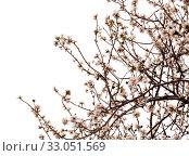 Купить «Цветущие ветки миндаля на белом фоне», фото № 33051569, снято 21 января 2020 г. (c) Tamara Kulikova / Фотобанк Лори