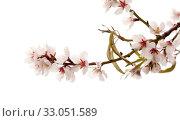 Купить «Цветущие ветки миндаля на белом фоне», фото № 33051589, снято 21 января 2020 г. (c) Tamara Kulikova / Фотобанк Лори