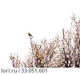 Купить «Цветущие ветки миндаля на белом фоне», фото № 33051601, снято 21 января 2020 г. (c) Tamara Kulikova / Фотобанк Лори