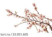 Купить «Цветущие ветки миндаля на белом фоне», фото № 33051605, снято 21 января 2020 г. (c) Tamara Kulikova / Фотобанк Лори